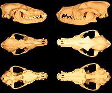 "Canis latrans texensis vs Canis latrans ""var."".jpg"