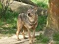 Canis lupus signatus (Kerkrade Zoo) 19.jpg