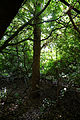 Canopied lane of laurels, Nuthurst, West Sussex, England 9.jpg