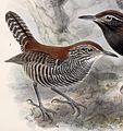 Cantorchilus semibadius 1902.jpg