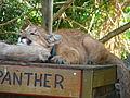 Captive Florida panther 1 at rest.jpg