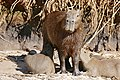 Capybaras (Hydrochoerus hydrochaeris) female and youngs ... (31725934661).jpg