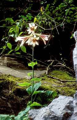 Cardiochrinum giganteum 01Hab China Sichuan Danyun Schlucht 16 06 04.jpg