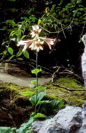 Lilioideae - Cardiocrinum giganteum