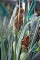 Carex flacca 1zz.jpg