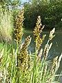 Carex paniculata sl8.jpg