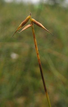 240px carex pauciflora 1