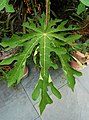 Carica papaya Leaf 2000px.jpg
