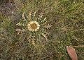 Carlina acanthifolia. Causse méjan ou méjean. PNC Parc National des Cévennes.jpg