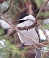 Carolina Chickadee (17158156081).jpg