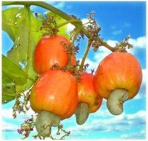English: Red cashew apple
