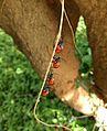 Catacanthus incarnatus nymphs.jpg