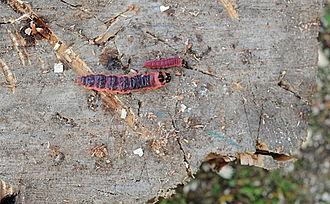 Cossus cossus - Image: Caterpillars cossus cossus