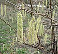 Catkins in Waters' Edge Country Park - geograph.org.uk - 1183282.jpg