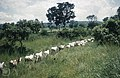 Cattle file through still green savanna on way to Lagos, Bosso.jpg