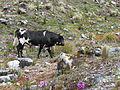 Cattle in Sierra Nevada 2.JPG