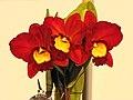 Cattleya Angel Kiss x Rhyncholaeliocattleya Toshie Aoki -台南國際蘭展 Taiwan International Orchid Show- (26080128237).jpg