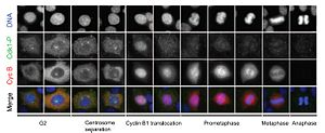 Mitotic exit - Fig. 1 Immunofluorescence patterns of cyclin B and phosphorylated cyclin-dependent kinase1 (Cdk1) in HeLa cells change as they go from G2 to anaphase.