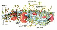 A small section of a cell membrane. This modern cell membrane is far more sophisticated than the original simple phospholipid bilayer (the small blue spheres with two tails). Proteins and carbohydrates serve various functions in regulating the passage of material through the membrane and in reacting to the environment.
