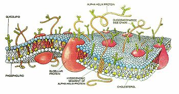 Hücre zarının Yapısı
