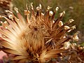 Centaurea macrocephala (29059075090).jpg