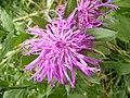 Centaurea pseudophrygia DSCF1538.JPG
