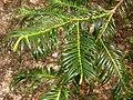 Cephalotaxus fortunei, Arnold Arboretum - IMG 6018.JPG