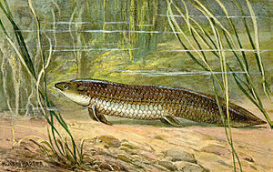 Lungfish - Illustration of Ceratodus by Heinrich Harder