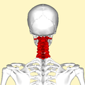 Cervical vertebrae back.png