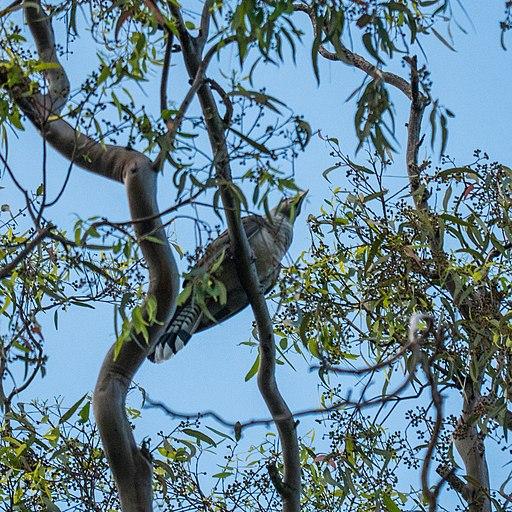 Channel-billed cuckoo 7th Brigade Park Chermside P1130716