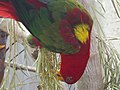 Chattering lory 02.jpg