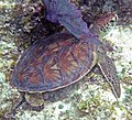 Chelonia mydas (green sea turtle) (San Salvador Island, Bahamas) 2 (16183883785).jpg