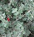 Chenopodium curvispicatum.jpg