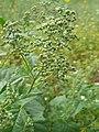 Chenopodium hybridum inflorescence (7).jpg