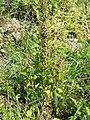 Chenopodium rubrum (s. str.) sl40.jpg