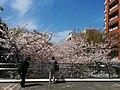 Cherry blossom in Roppongi Hills Sakurazaka - trees.jpg