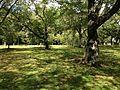 Cherry trees near Narukomon Gate of Nijo Castle.JPG
