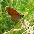 Chestnut Heath. Coenonympha glyceron - Flickr - gailhampshire.jpg