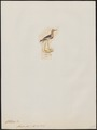 Chettusia flavipes - 1820-1860 - Print - Iconographia Zoologica - Special Collections University of Amsterdam - UBA01 IZ17200127.tif