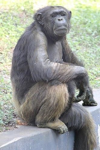 Arignar Anna Zoological Park - Chimpanzee in zoo