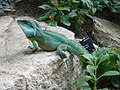 Chinese water dragon in the Princess of Wales Conservatory, Kew - geograph.org.uk - 985539.jpg