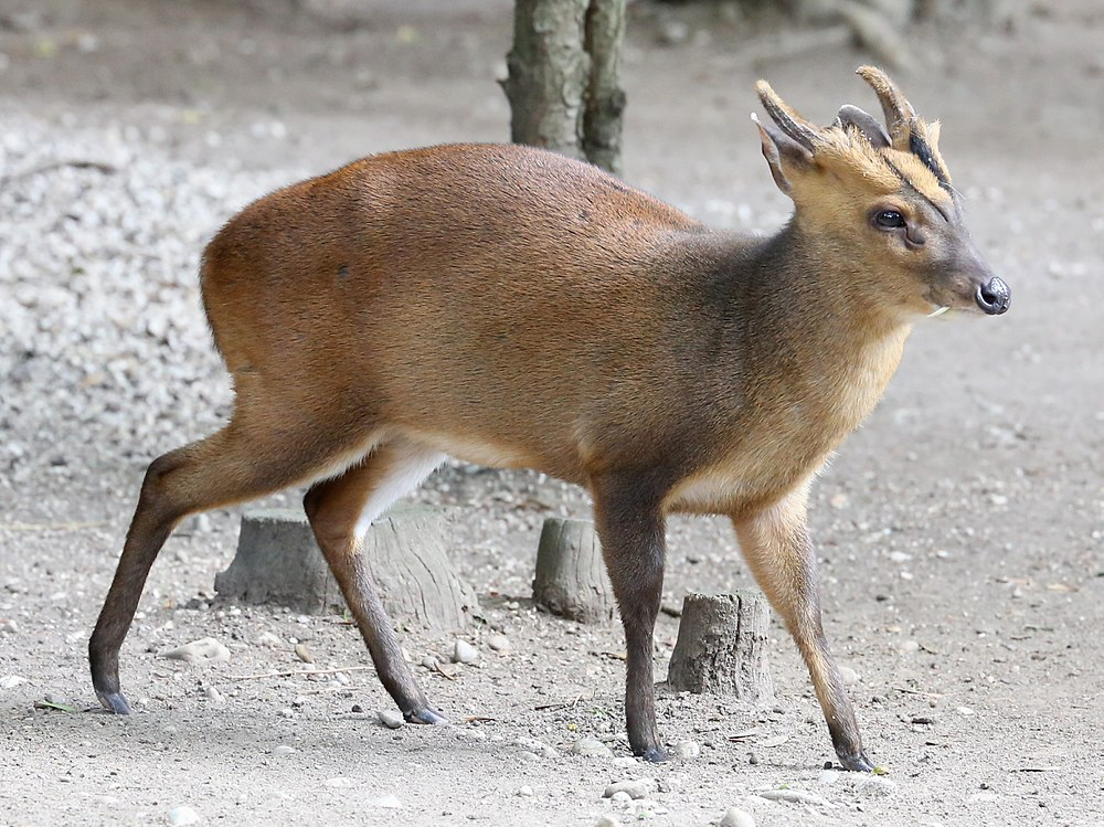 The average litter size of a Reeves's muntjac is 1