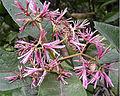 Chionanthus pubescens - Pink Fringe Tree - 2.jpg