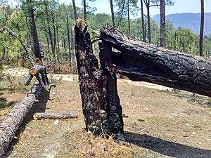 2016 Uttarakhand forest fires - Burnt Chir pine