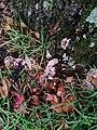 Chondrostereum purpureum 76825679.jpg