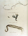 Chordaria flagelliformis — Flora Batava — Volume v12.jpg