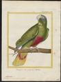 Chrysotis ventralis - 1700-1880 - Print - Iconographia Zoologica - Special Collections University of Amsterdam - UBA01 IZ18600129.tif