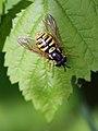 Chrysotoxum cautum (Syrphidae) (10491406205).jpg