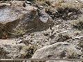 Chukar Partridge (Alectoris chukar) (36217365832).jpg