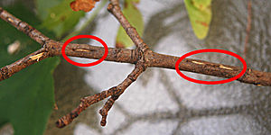 Periodical cicadas - Magicicada egg slits (circled in red)
